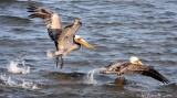 BIRD - PELICAN - BROWN PELICAN - SAN IGNACIO LAGOON BAJA MEXICO (47).JPG