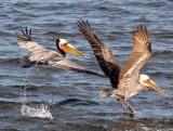 BIRD - PELICAN - BROWN PELICAN - SAN IGNACIO LAGOON BAJA MEXICO (50).JPG