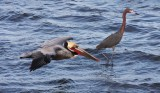 BIRD - PELICAN - BROWN PELICAN - SAN IGNACIO LAGOON BAJA MEXICO (53).JPG