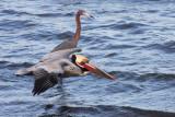 BIRD - PELICAN - BROWN PELICAN - SAN IGNACIO LAGOON BAJA MEXICO (54).JPG