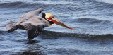 BIRD - PELICAN - BROWN PELICAN - SAN IGNACIO LAGOON BAJA MEXICO (57).JPG