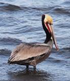 BIRD - PELICAN - BROWN PELICAN - SAN IGNACIO LAGOON BAJA MEXICO (64).JPG
