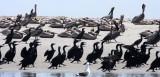 BIRD - PELICAN - BROWN PELICAN - WITH BRANDT'S AND PELAGIC CORMORANTS - SAN IGNACIO LAGOON BAJA MEXICO (7).JPG