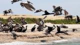 BIRD - PELICAN - BROWN PELICAN WITH DOUBLE-CRESTED CORMORANTS - SAN IGNACIO LAGOON BAJA MEXICO (10).JPG