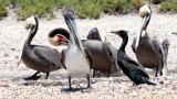 BIRD - PELICAN - BROWN PELICAN WITH DOUBLE-CRESTED CORMORANTS - SAN IGNACIO LAGOON BAJA MEXICO (23).JPG