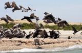 BIRD - PELICAN - BROWN PELICAN WITH DOUBLE-CRESTED CORMORANTS - SAN IGNACIO LAGOON BAJA MEXICO (8).JPG