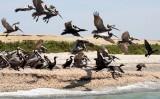 BIRD - PELICAN - BROWN PELICAN WITH DOUBLE-CRESTED CORMORANTS - SAN IGNACIO LAGOON BAJA MEXICO (9).JPG