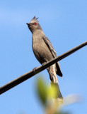 BIRD - PHAINOPEPLA - FEMALE - LORETO BAJA MEXICO (4).JPG