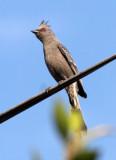 BIRD - PHAINOPEPLA - FEMALE - LORETO BAJA MEXICO (6).JPG