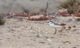 BIRD - PLOVER - SNOWY PLOVER - CHARADRIUS ALEXANDRINUS - OJO DE LIEBRE LAGOONS BAJA MEXICO (11).JPG