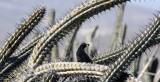 BIRD - QUAIL - CALIFORNIA QUAIL - HIDDING IN SOUR PITAYA - CATAVINA DESERT BAJA MEXICO (2).JPG