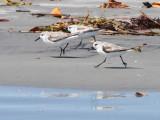 BIRD - SANDERLING - SAN IGNACIO LAGOON BAJA MEXICO (4).JPG