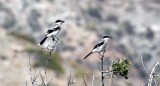 BIRD - SHRIKE - LOGGERHEAD SHRIKE - ISLA SANTA CATALINA BAJA MEXIO (5).JPG