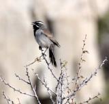 BIRD - SPARROW - BLACK-THROATED SPARROW - WITH FEMALE - CATAVINA DESERT BAJA MEXICO (3).JPG