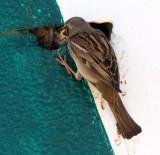 BIRD - SPARROW - HOUSE SPARROW - FEMALE FEEDING CHICKS IN STOREFRONT WALL - SAN QUINTIN BAJA MEXICO (4).JPG