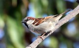 BIRD - SPARROW - HOUSE SPARROW - LORETO BAJA MEXICO (2).JPG