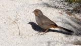 BIRD - TOWHEE - CALIFORNIA TOWHEE - PIPILO CRISSALIS - CATAVINA DESERT BAJA MEXICO (3).JPG