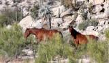 EQUIN - HORSE - WILD HORSES - CATAVINA DESERT BAJA MEXICO (2).JPG