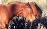 EQUIN - HORSE - WILD HORSES - CATAVINA DESERT BAJA MEXICO (5).JPG