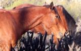 EQUIN - HORSE - WILD HORSES - CATAVINA DESERT BAJA MEXICO (6).JPG