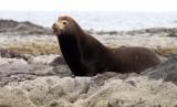 PINNIPED - SEA LION - CALIFORNIA SEA LION - ISLA MONTSERRAT BAJA MEXICO (5).JPG