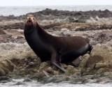 PINNIPED - SEA LION - CALIFORNIA SEA LION - ISLA MONTSERRAT BAJA MEXICO (9).JPG