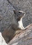 RODENTIA - SQUIRREL - GROUND SQUIRREL - CALIFORNIA GROUND SQUIRREL - CATAVINA DESERT BAJA MEXICO (23).JPG