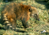COATI - SOUTH AMERICAN - BOLIVIA.jpg