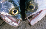 FISH - MAJOR FANGS - AMAZON RIVER.jpg