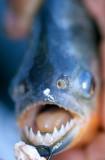 FISH - RED PIRANA - AMAZONA BRAZIL.jpg