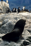 PINNIPEDS - SOUTH AMERICAN FUR SEAL - BEAGLE CHANNEL.jpg