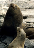 PINNIPEDS - SOUTH AMERICAN SEA LION - BEAGLE CHANNEL A.jpg