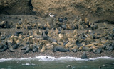 PINNIPEDS - SOUTH AMERICAN SEA LION - PARACAS.jpg