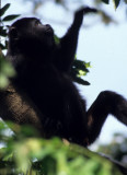 PRIMATE - MEXICAN BLACK HOWLER MONKEY - BELIZE A.jpg