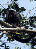 PRIMATE - MEXICAN BLACK HOWLER MONKEY - BELIZE B.jpg