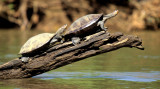 REPTILES - AMAZON RIVER TURTLE - ECUADOR.jpg