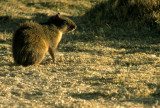 RODENTIA - AGOUTI - BROWN - BOLIVIA (3).jpg