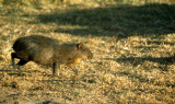 RODENTIA - AGOUTI - BROWN - BOLIVIA.jpg