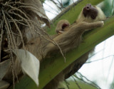 SLOTH - TWO TOED - PANAMA E.jpg