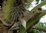 SLOTH - TWO TOED - PANAMA F.jpg