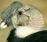 BIRD - ANDEAN CONDOR - BOLIVIA A1.jpg