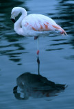 BIRD - CHILEAN FLAMINGO - BOLIVIA.jpg
