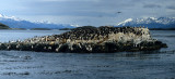 BIRD - CORMORANT - BLUE EYED - BEAGLE CHANNEL D.jpg