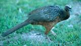BIRD - GUAN - DUSKY LEGGED - PANTANAL B.jpg