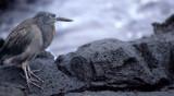 BIRD - HERON - LAVA - GALAPAGOS E.jpg