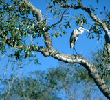 BIRD - HERON - WHITE NECKED - PANTANAL A.jpg