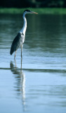 BIRD - HERON - WHITE NECKED - PANTANAL C.jpg