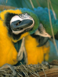 BIRD - MACAW - BLUE AND YELLOW - PANTANAL E.jpg