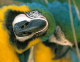 BIRD - MACAW - BLUE AND YELLOW - PANTANAL E1.jpg