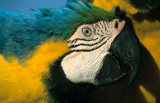 BIRD - MACAW - BLUE AND YELLOW - PANTANAL.jpg
